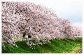 静岡市桜の園について
